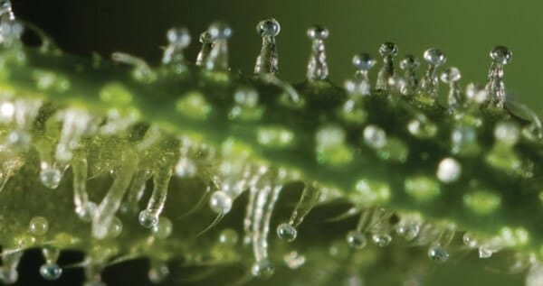 Clear trichomes