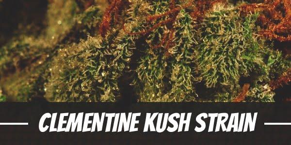 Clementine Kush Strain