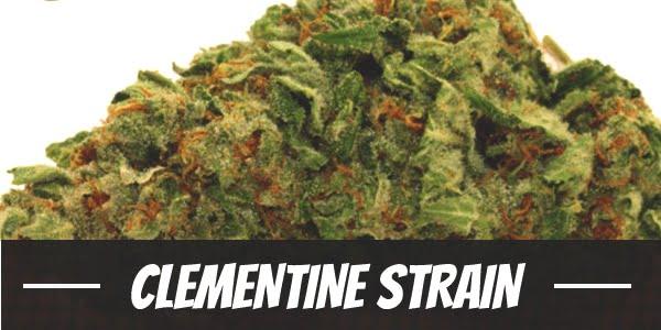 Clementine Strain