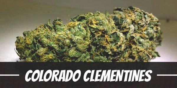 Colorado Clementines Strain