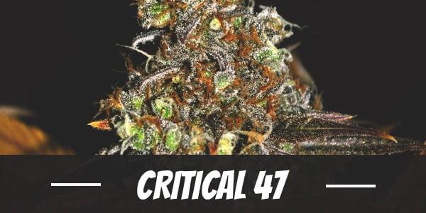 Critical 47