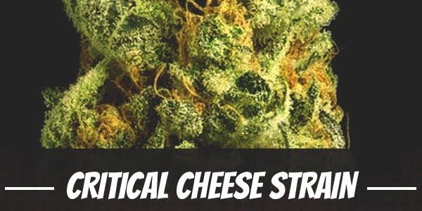 Critical Cheese Strain