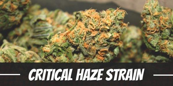 Critical Haze Strain