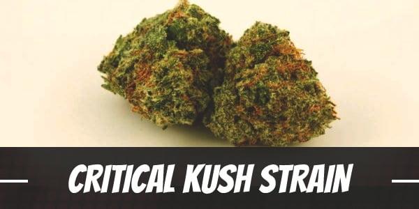 Critical Kush Strain
