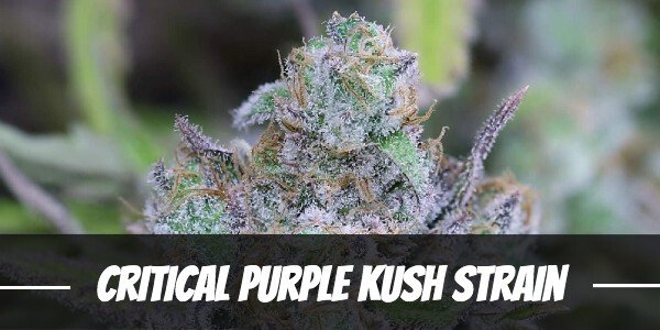 Critical Purple Kush Strain