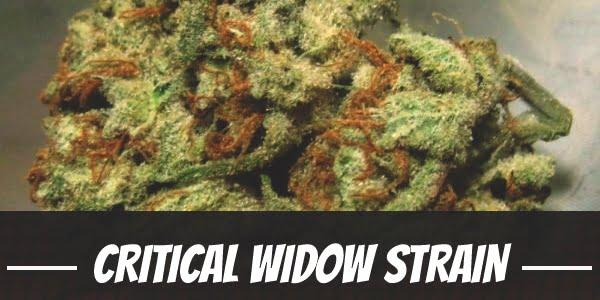 Critical Widow Strain