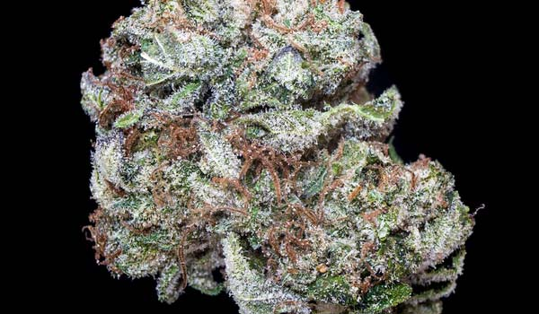 Critters Cookies Strain Effects