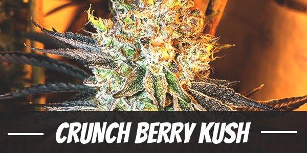 Crunch Berry Kush