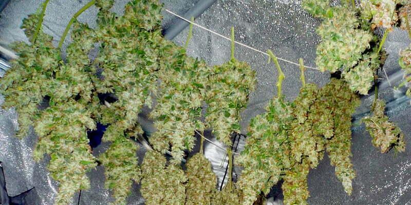 Curing your marijuana crop