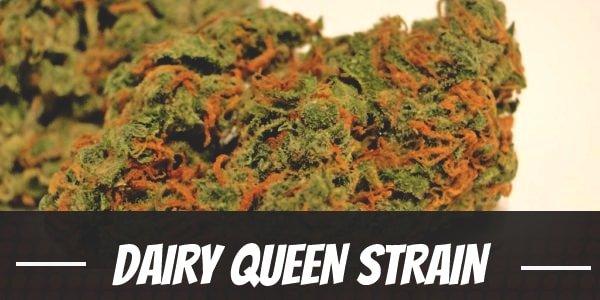 Dairy Queen Strain