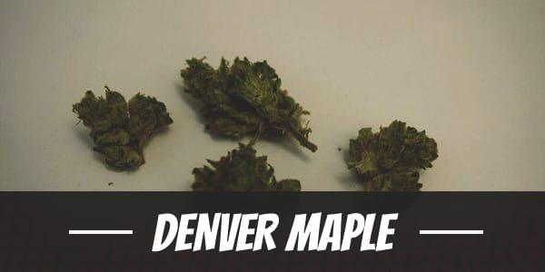 Denver Maple
