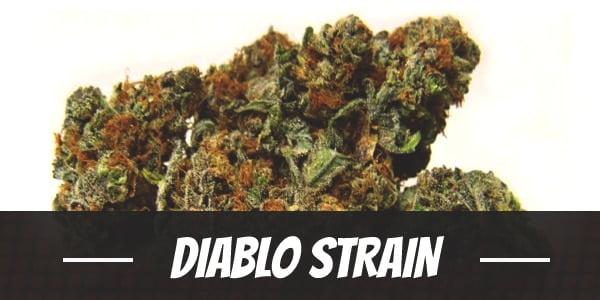 Diablo Strain