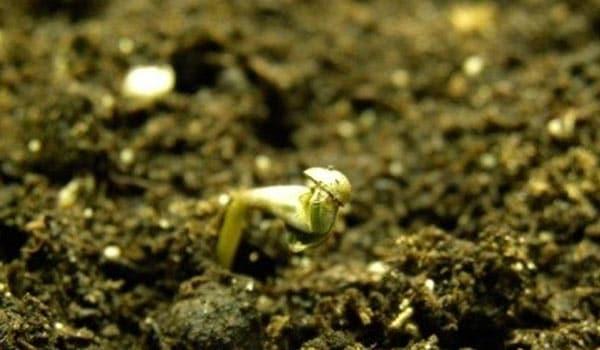 A freshly popped seed in soil
