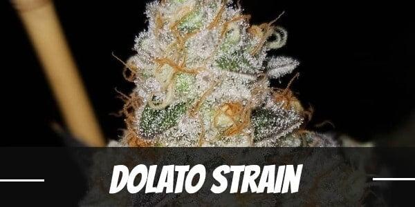 Dolato marijuana strain