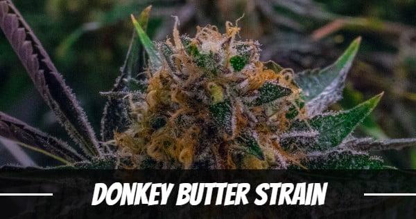 Donkey Butter Strain