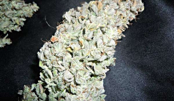 Dr. Feelgood Strain Effects
