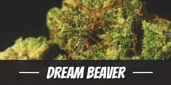 Dream Beaver