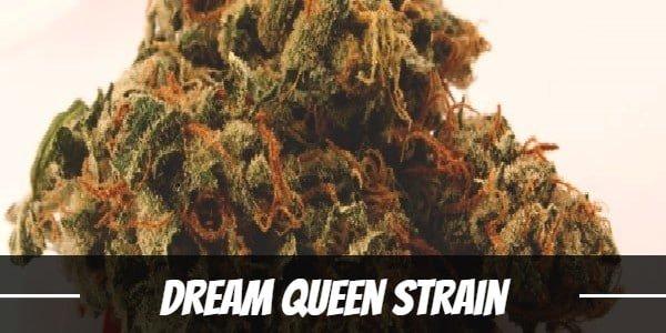 Dream Queen Strain