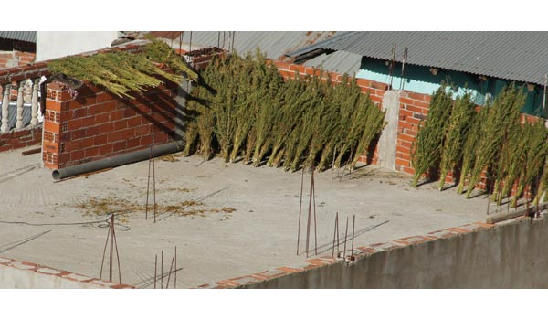 Drying cannabis rooftop