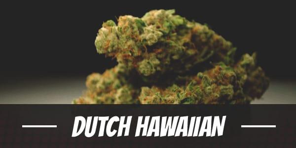 Dutch Hawaiian