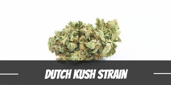 Dutch Kush Strain