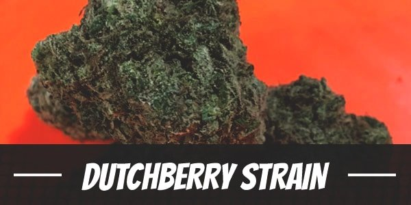 Dutchberry Strain