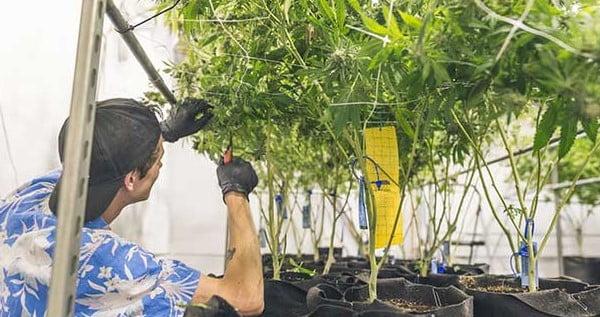 Entry level marijuana jobs in Washington
