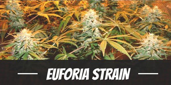 Euforia Strain