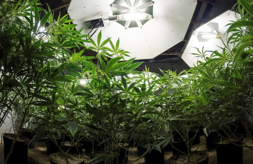 Final Thoughts on Marijuana Cultivation & Quick Tips