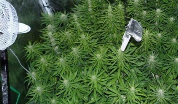 Flowering stage for indoor marijuana plants1