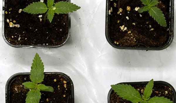 Foliage growth cannabis plant