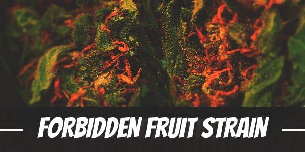 Forbidden Fruit Strain