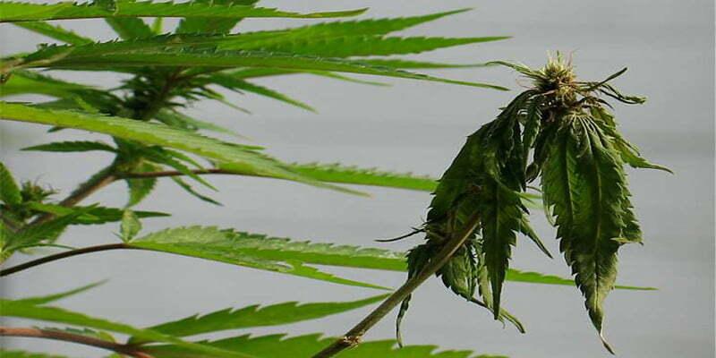 Fusarium on cannabis plants