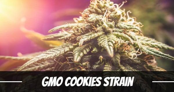GMO Cookies Strain