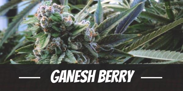 Ganesh Berry