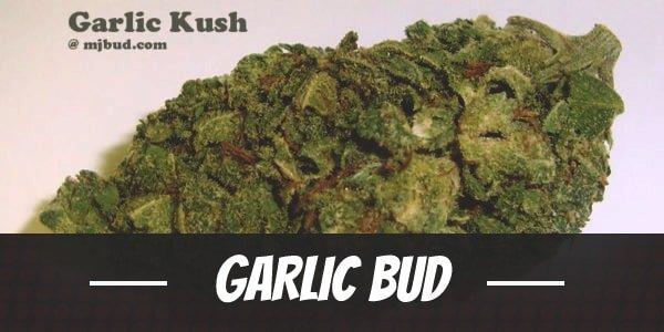 Garlic Bud
