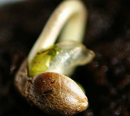 Germinating outdoor cannabis plants indoors