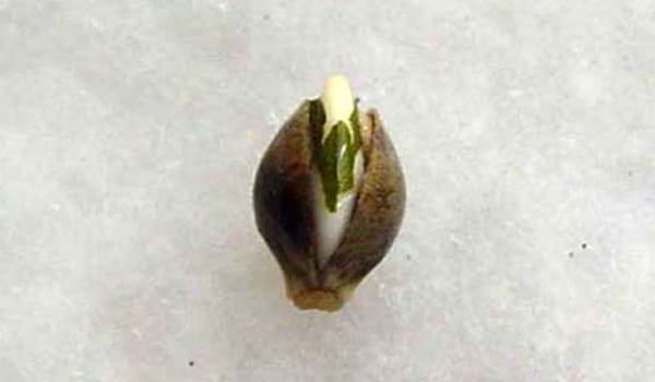 Germinating the marijuana seed