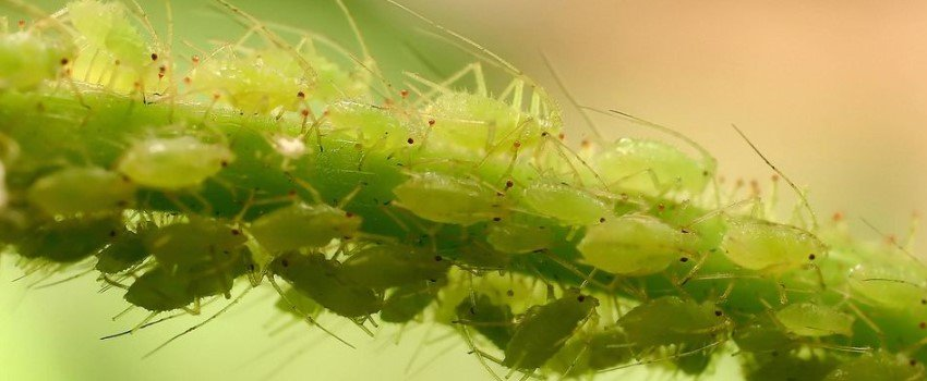 Get Rid of Aphids and Whiteflies