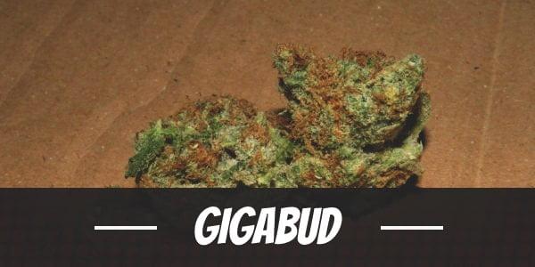 Gigabud