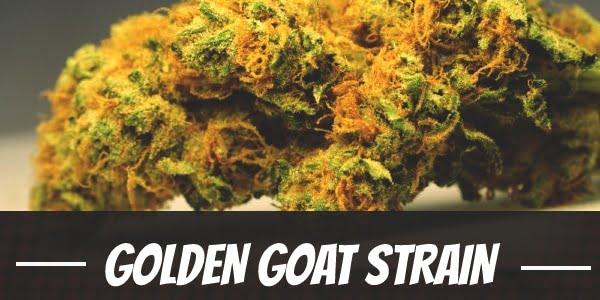 Golden Goat Strain