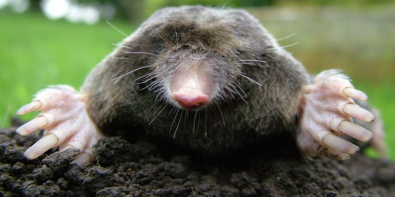 Gophers and moles on cannabis plants
