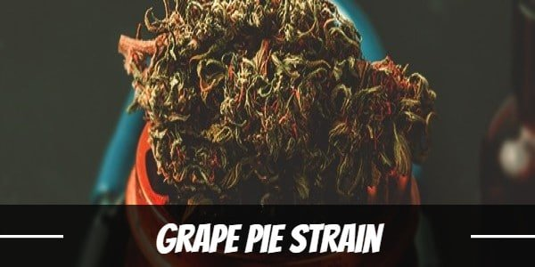 Grape Pie Strain