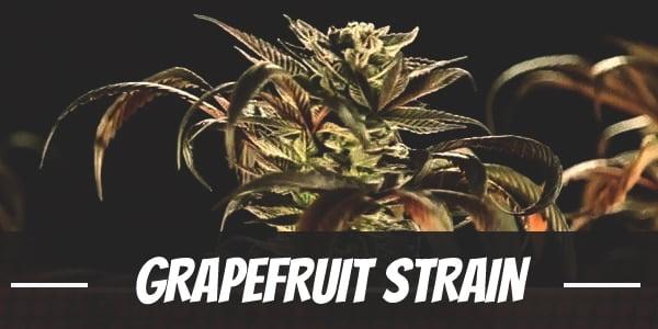 Grapefruit Strain