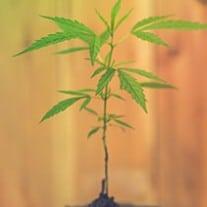 Grow Just One Marijuana Plant at Home
