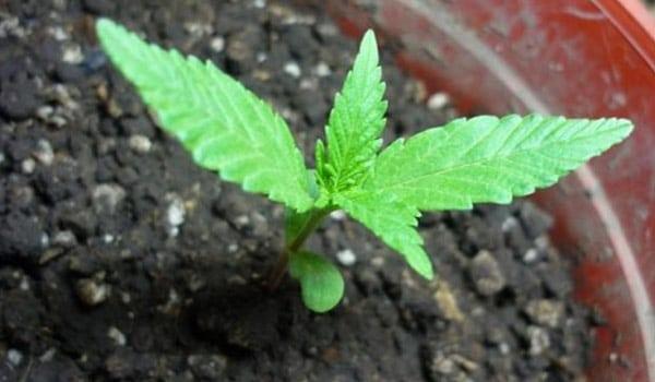 Grow strong marijuana plants ready to transplant