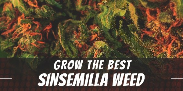 How to Grow the Best Sinsemilla Weed