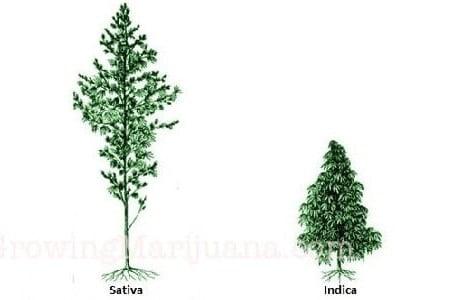 Growing Indicas vs Sativas