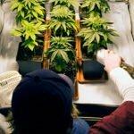 Growing indoor marijuana