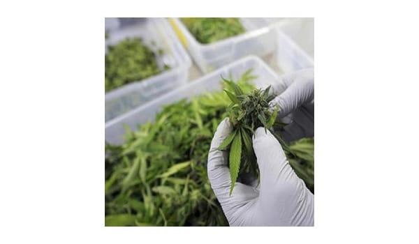 Growing marijuana for others in Washington